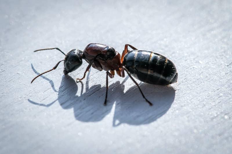 carpenter ant close-up
