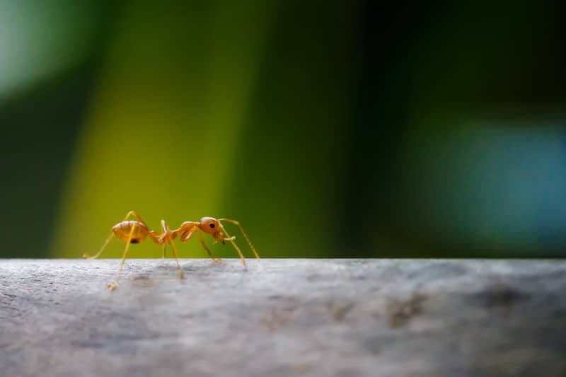 crazy ant crawling