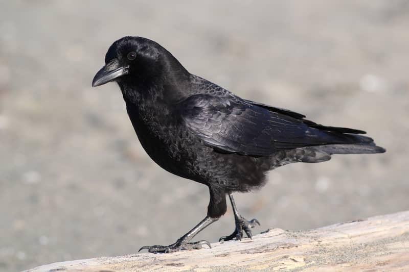 black American crow