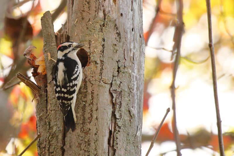 downy woodpecker on a tree
