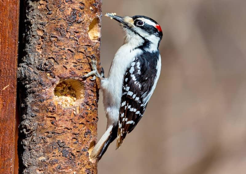 hairy woodpecker bird pecking at a tree