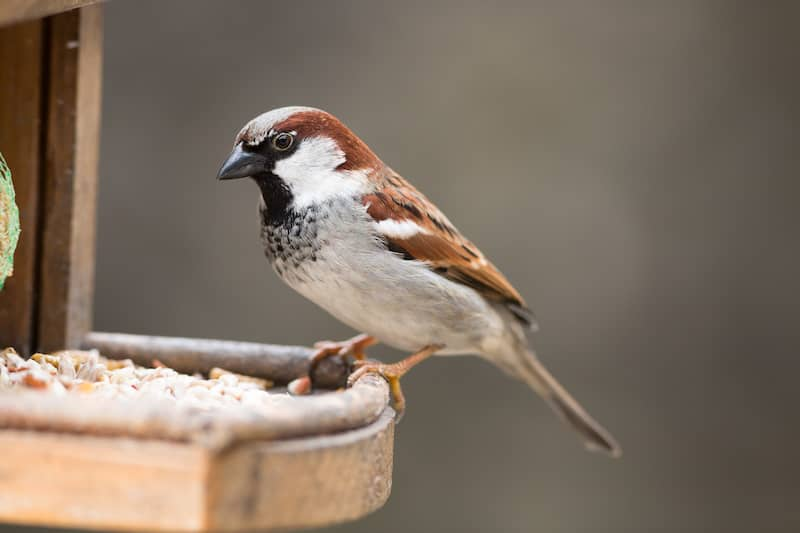 house sparrow perched on a wooden post