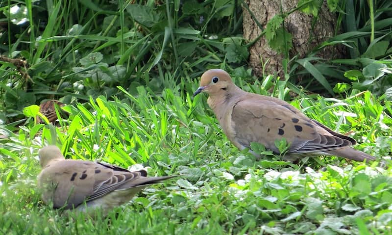 mourning doves in the grass