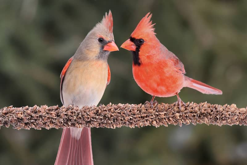 northern cardinals on a branch