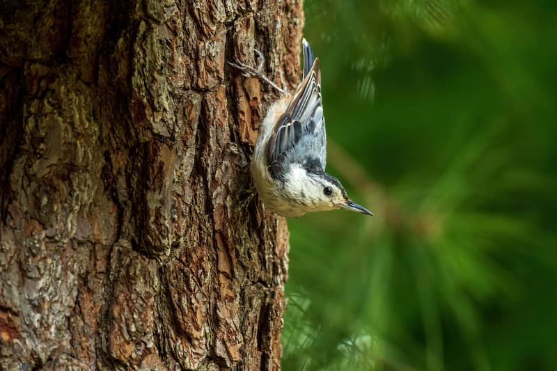 white-breasted nuthatch on a tree trunk