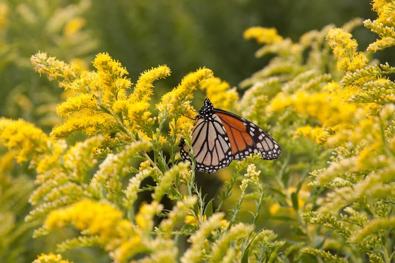 goldenrod with butterfly