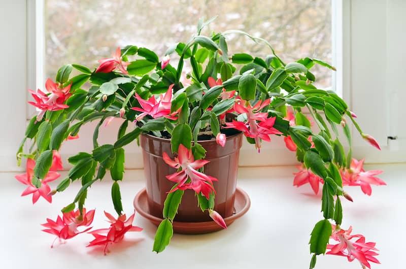 Christmas Cactus Plant