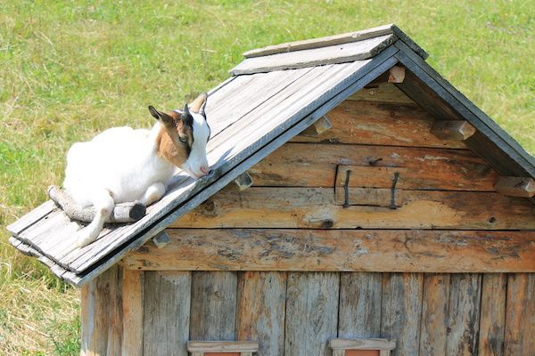 Goat on a shed.