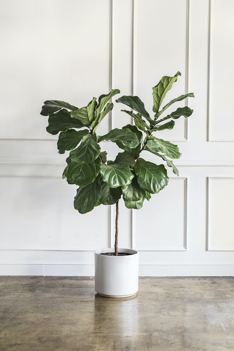 large fiddle head fig potted plant
