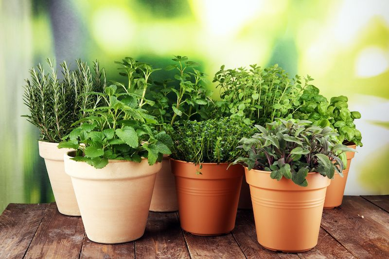 Culinary Herbs potted.