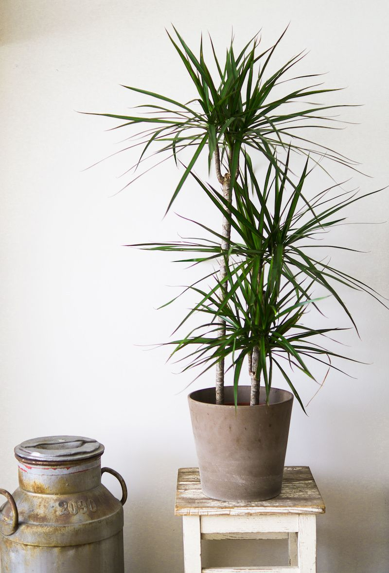 Potted Dracarna Plant on table.