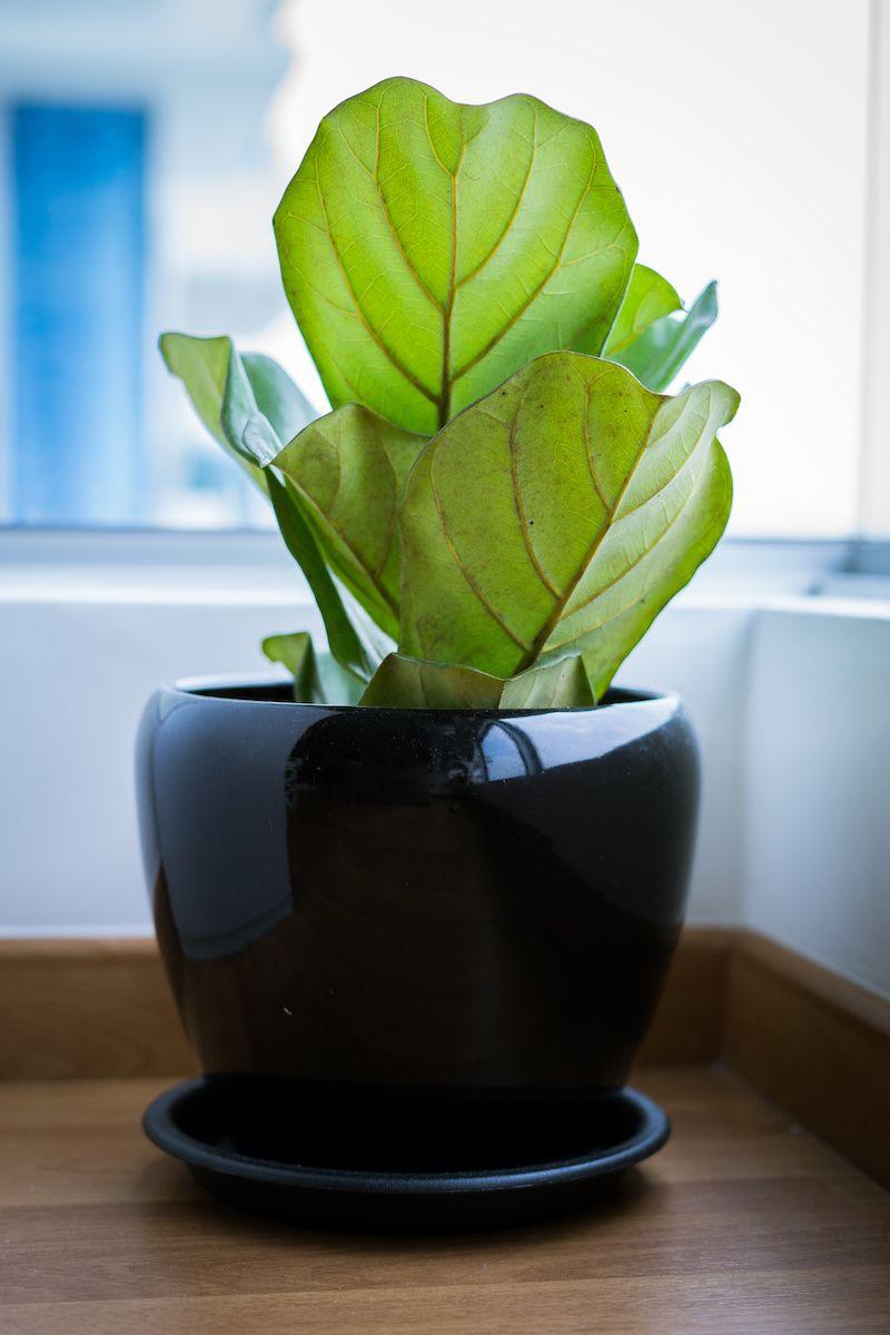Fiddle-leaf fig plant.