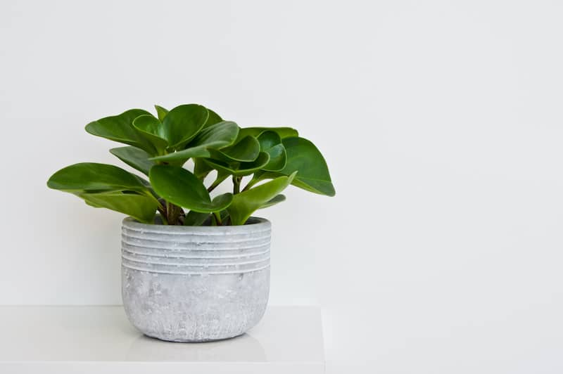 Potted Green Peperomia Plant In Clay Pot