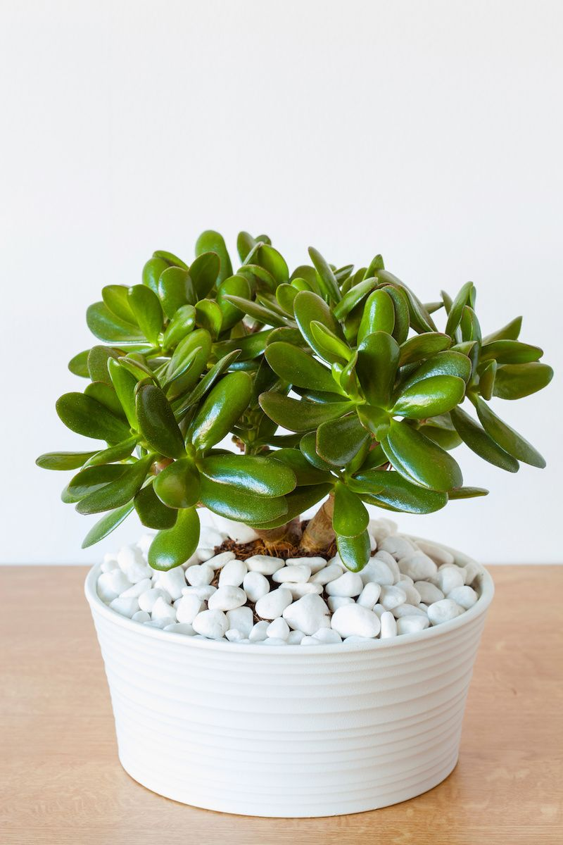 Small indoor jade plant.