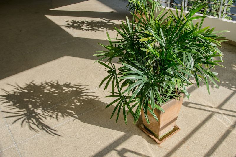 Potted Palm Plant.