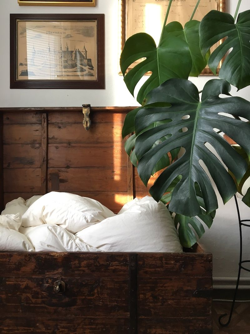 Philodendron plant hanging over a bed.