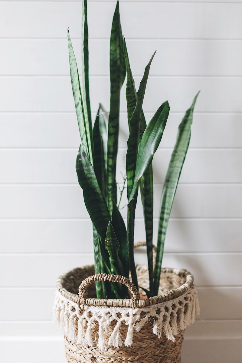 Snake plant potted in decorative pot.