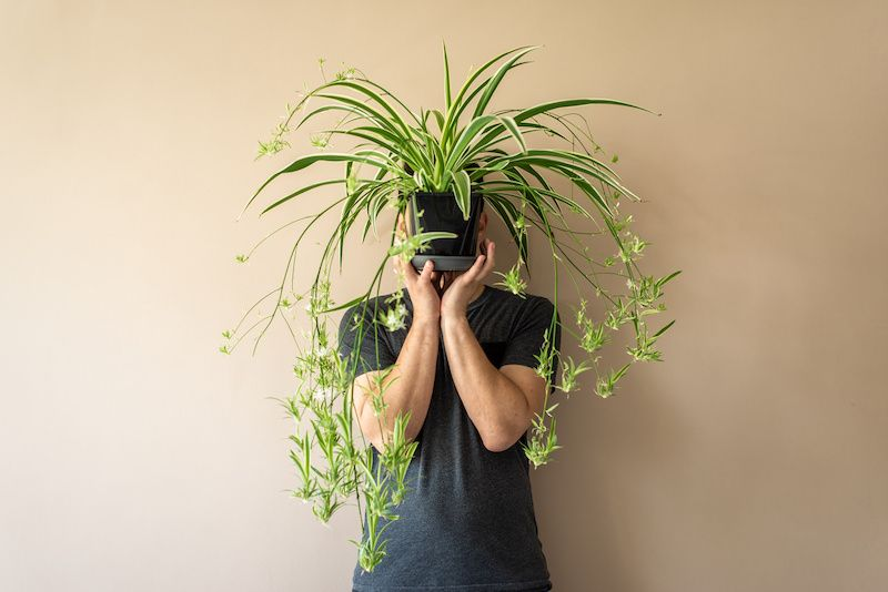 Spider plant held up by a man.