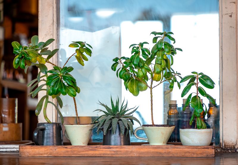 Zebra plants and succulents on a shelf.