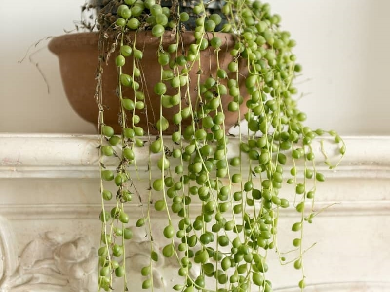 Cascading Succulent String Of Pearl Hanging Green Plant On Fireplace Mantel