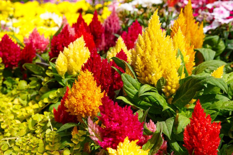 bright yellow, red, and orange celosia flowers