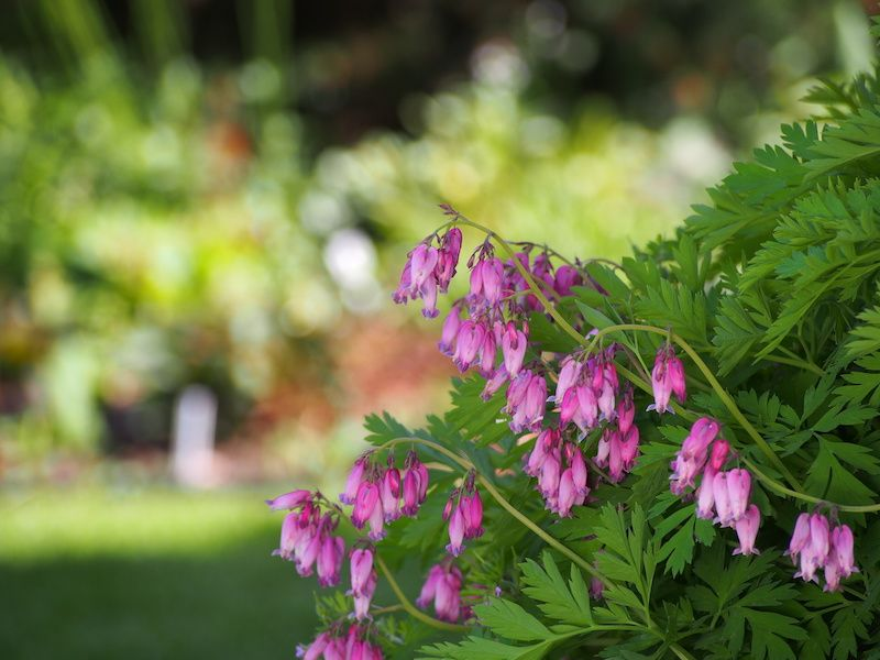 pink fringed bleeding hearts