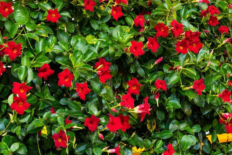 red mandevilla flowers
