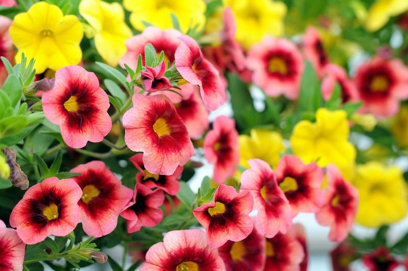 pink, red and yellow petunias