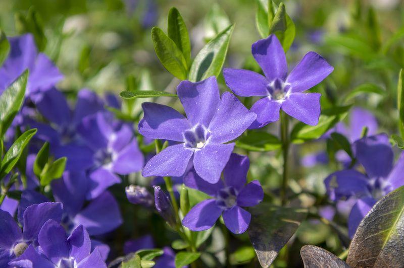 purple vincas